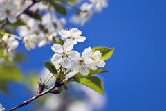 Белый вишневый цвет против голубого неба Стоковое фото RF