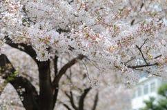 Белый вишневый цвет Сакуры или Японии разветвляет, который будет полно Стоковые Изображения RF