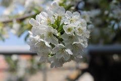 Белый вишневый цвет Стоковое Изображение RF