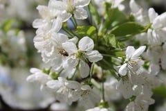 Белый вишневый цвет Стоковое Изображение