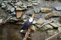 Белый возглавленный орел Стоковая Фотография