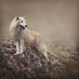 Белый волк Стоковые Фото