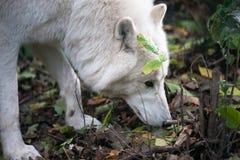 белый волк Стоковая Фотография