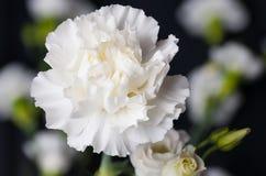 Белый гвоздики цветка головы конец вверх Стоковая Фотография RF