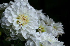 Белый георгин Стоковая Фотография RF