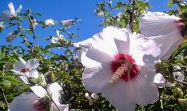 Белый гибискус в саде Стоковое Изображение RF