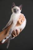 Белый, голубоглазый котенок Стоковое Изображение