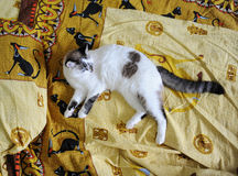 Белый голубоглазый пушистый кот лежит на кровати, на постельном белье с печатью египетских котов Стоковые Изображения RF
