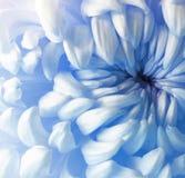 Белый голубой цветок хризантемы closeup Макрос Стоковые Изображения