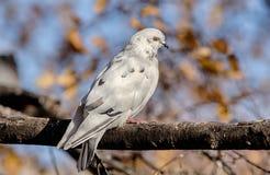 Белый голубь в осени Стоковое фото RF