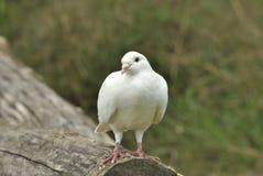 Белый голубь в woodpile Стоковые Изображения RF