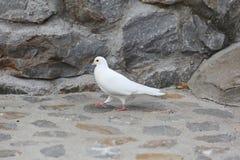 Белый голубь голубя на камне Стоковое Изображение RF