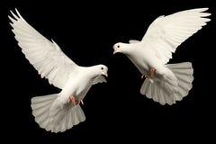 Белый голубь летает стоковое фото rf