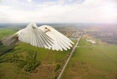 Белый голубь летая над городом и дорогой с солнечной Точкой доступа Стоковые Изображения RF