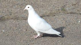 Белый голубь на асфальте Стоковая Фотография