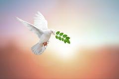 Белый голубь на годе сбора винограда стоковые изображения