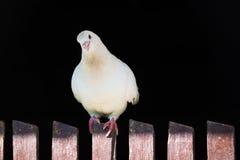 Белый голубь на загородке на черной предпосылке Стоковые Изображения RF