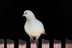 Белый голубь на загородке на черной предпосылке Стоковое фото RF