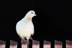 Белый голубь на загородке на черной предпосылке Стоковое Изображение