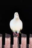 Белый голубь на загородке на черной предпосылке Стоковые Фото