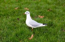 Белый голубь на зеленом луге Стоковые Изображения