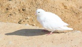 Белый голубь на песке Стоковые Фотографии RF
