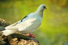 Белый голубь около воды Стоковые Фото
