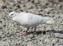Белый голубь отпуска Стоковые Фотографии RF
