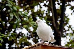 Белый голубь садить на насест на крыше Стоковые Изображения