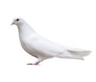 Белый голубь сидит изолированный Стоковые Изображения RF
