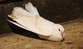 Белый голубь Стоковое фото RF