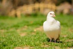 Белый голубь стоковые фото