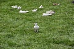 Белый голубь Стоковая Фотография RF