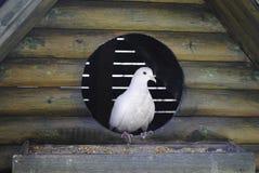 Белый голубь стоковое изображение