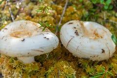 Белый гриб пластинчатого гриба Стоковые Изображения