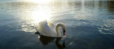 Белый лебедь в Версаль Стоковые Изображения RF