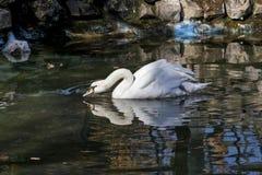 Белый лебедь в зеленом water01 Стоковое Изображение