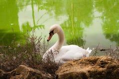 Белый лебедь в зоопарке Стоковые Фото