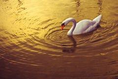 Белый лебедь в золотой предпосылке Стоковые Фото