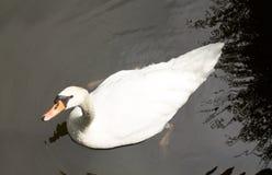 Белый лебедь в озере Стоковое Фото