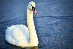 Белый лебедь на воде Стоковая Фотография RF