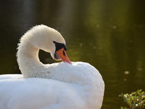 Белый лебедь на озере Стоковое Изображение RF