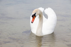 Белый лебедь на поверхности воды. Стоковое фото RF