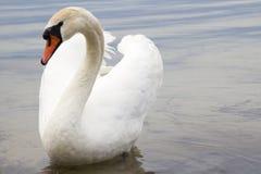 Белый лебедь на поверхности воды. Стоковые Фото