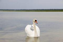 Белый лебедь на поверхности воды. Стоковое Фото