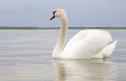 Белый лебедь на поверхности воды. Стоковые Фотографии RF