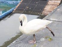 Белый лебедь на пруде Белые пер лебедя царапают Стоковое Изображение RF