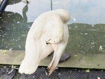 Белый лебедь на пруде Белые пер лебедя царапают Стоковая Фотография RF