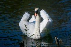 Белый лебедь на пруде Стоковая Фотография