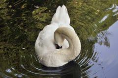 Белый лебедь на пруде Стоковые Изображения